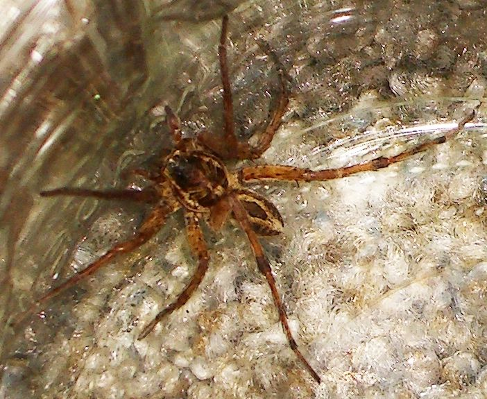 California Wolf Spider